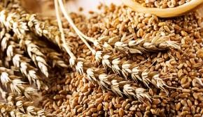 Хлібна база №85 прийняла  перше зерно нового врожаю