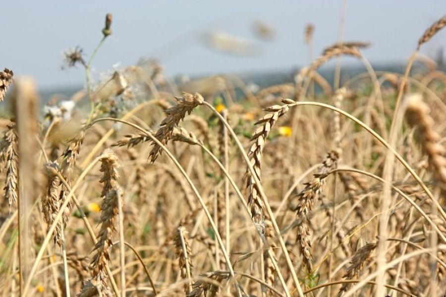У Держрезерві триває заготівля зерна